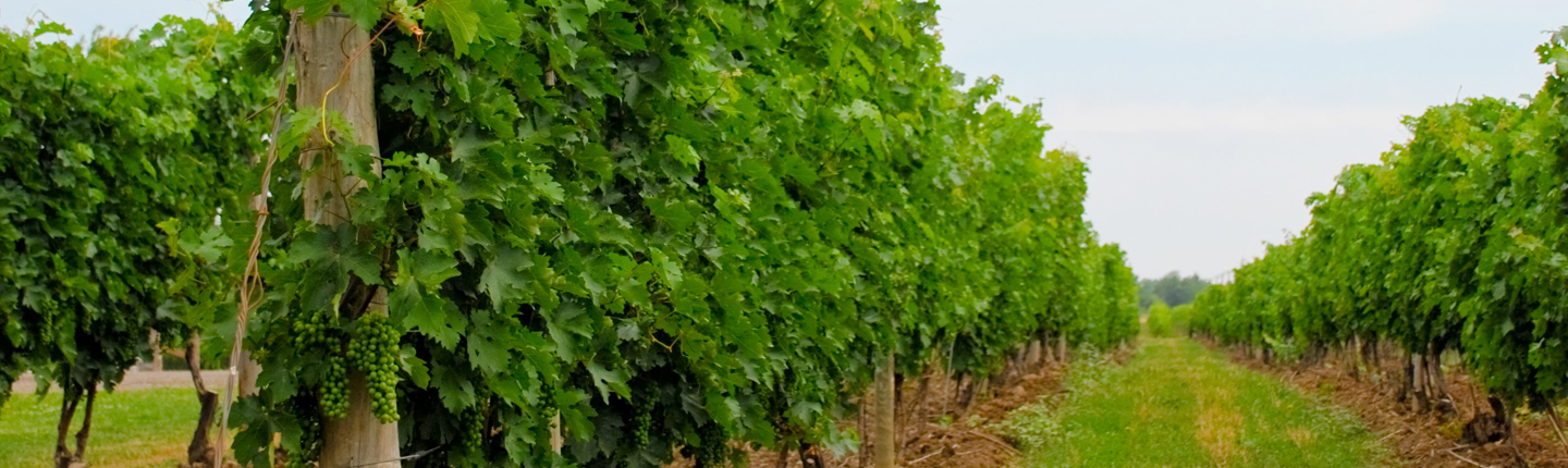 Rows of green vines in a vineyard